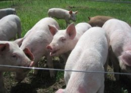 Addressing swine fever threat in Asian countries