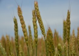 South Korea bans import of Canadian wheat and flour