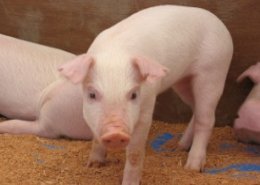 BPI partners with PIC to modernise pig farms in the Philippines