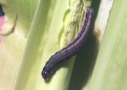 New crop-devastating fall armyworm spotted in Asia