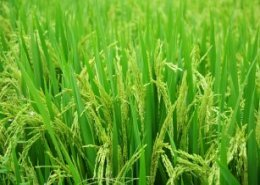 New BASF Rice Knowledge Centre to help farmers in Asia boost yields