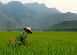 Bayer partners with IRRI for direct-seeded rice in Asia