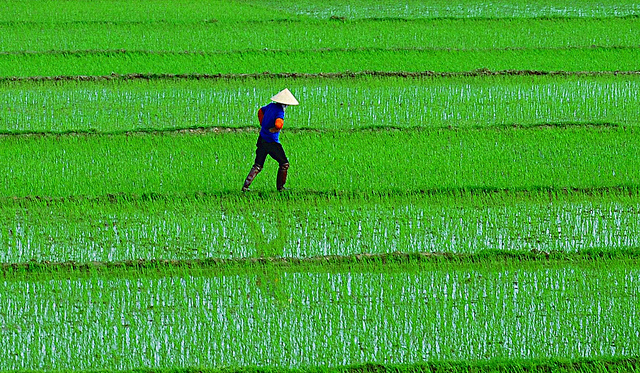 Asia farmer rice USAID Asia FLICKR