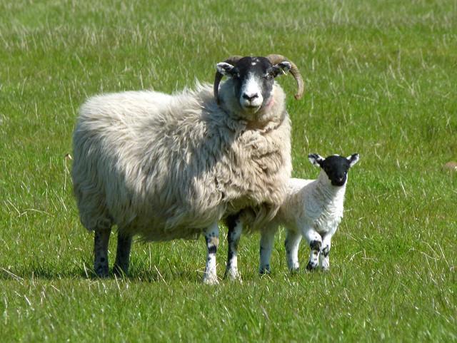 Australian sheep flown to China for genetic breeding