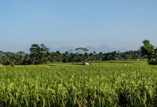 Indonesia Rice