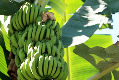 bananaS plant denishc flickr