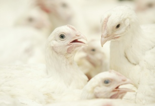 osi poultry china