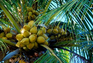 coconut-hansdekker-flickr