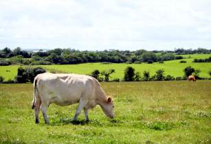 grazing cow stephenoneill sxchu