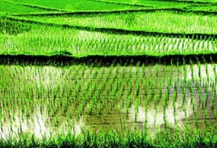 paddy-rice
