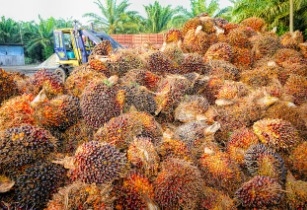 New, high-yielding oil palm planting material developed in Indonesia