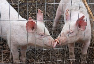 Vaccine developed in India to protect pigs from swine fever