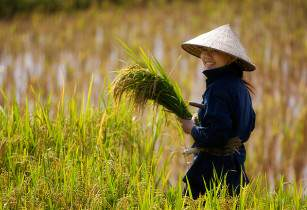 riceharvest andrewchang flickr