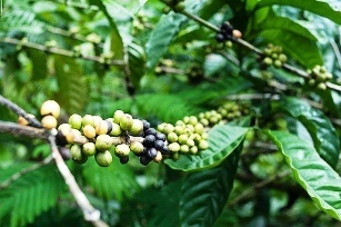 Vietnam expects bumper coffee harvest in 2013