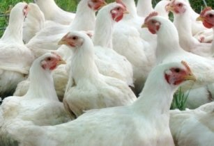 Broiler breeders and their management on