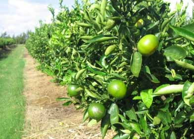 Citrus trees like the mandarin orange shown here can be brought back to full health and production by rehabilitation (Picture: Nordox)
