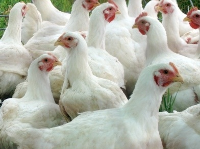 To attain both genetic potential and consistent flock production, it is important that the producer or flock manager has a good management programme in place