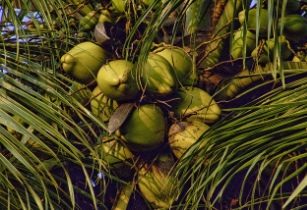 Thailand considers ban on coconut imports
