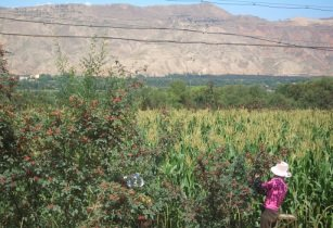 5882 Linxia County Daxiahe valley harvesting pepper
