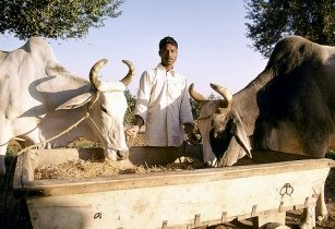 Feeding Cattle - World Bank Photo Collection - Flickr