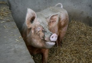 Pig at Middle Farm Sussex