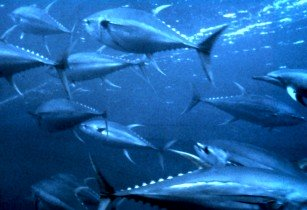Yellowfin tuna nurp