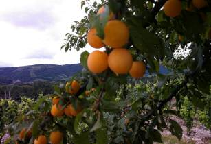 apricotfarms timlucas flickr