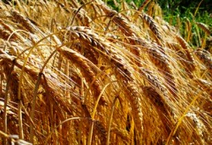barley-net-efekt-flickr