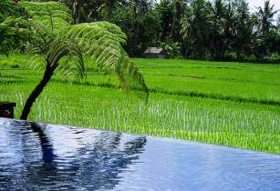 rice paddy-indonesia